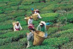 Tea Leaf Grades & Production Methods - Tea Fountain